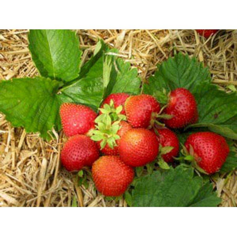 Jordbær 'Florence'