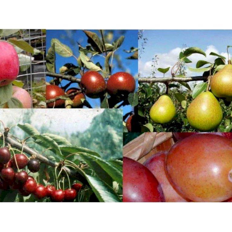 Pakke med 5 stk. 2 års frugttræer