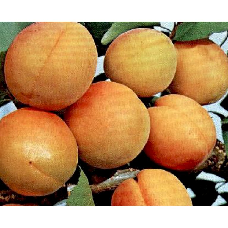 Abrikos 'Orangered'