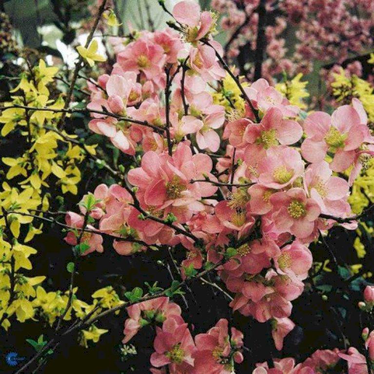 Japansk Kvæde 'Pink Lady'