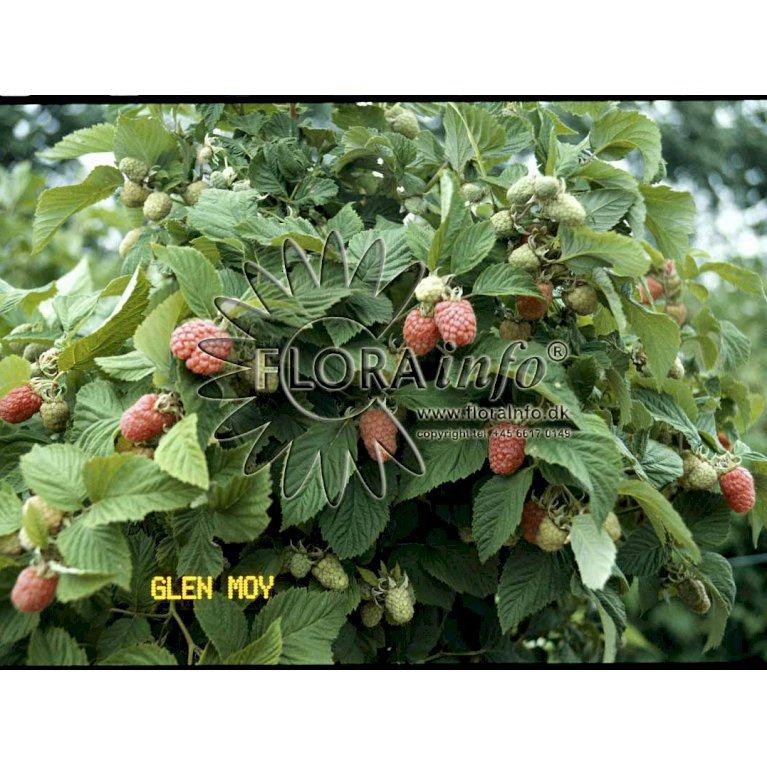 Hindbær Algonquiin