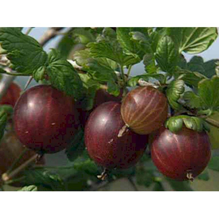 Tornfri Stikkelsbær 'Larell'