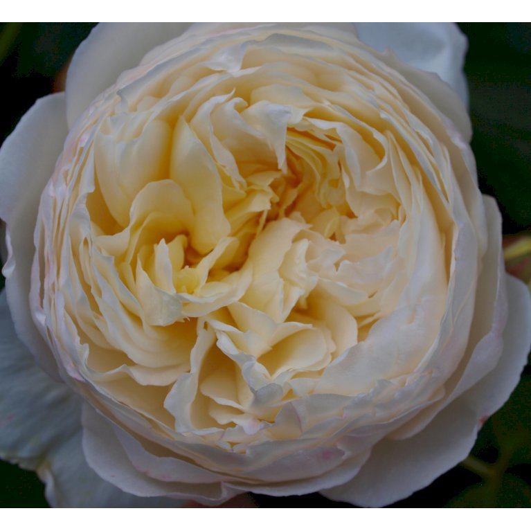 Austin rose 'Claire Austin'