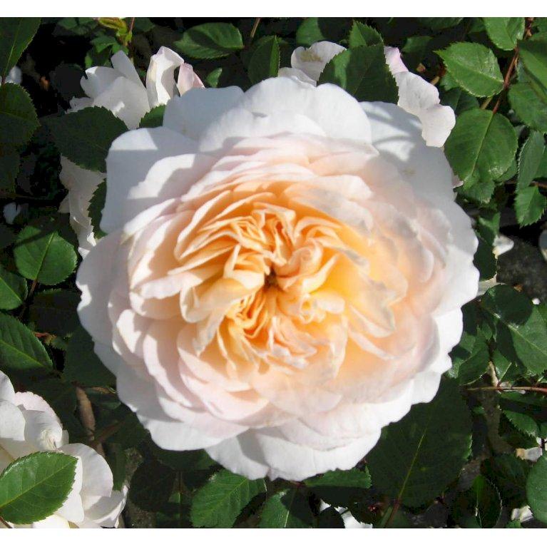 Austin 'Emanuel (Crocus Rose)'