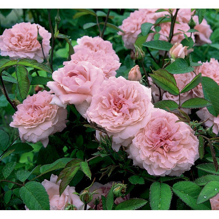 Engelsk Rose 'The Mayflower'