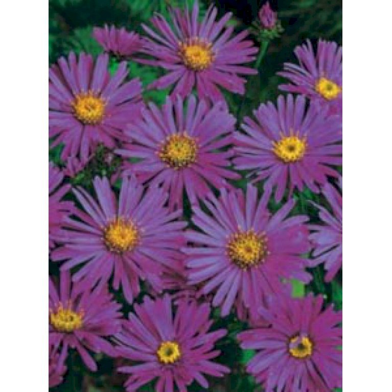 Asters 'Rudolph Goethe'