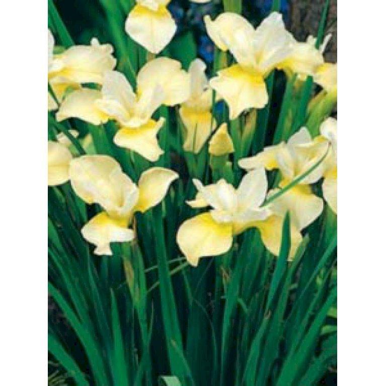 Sibirisk Iris 'Butter and Sugar'
