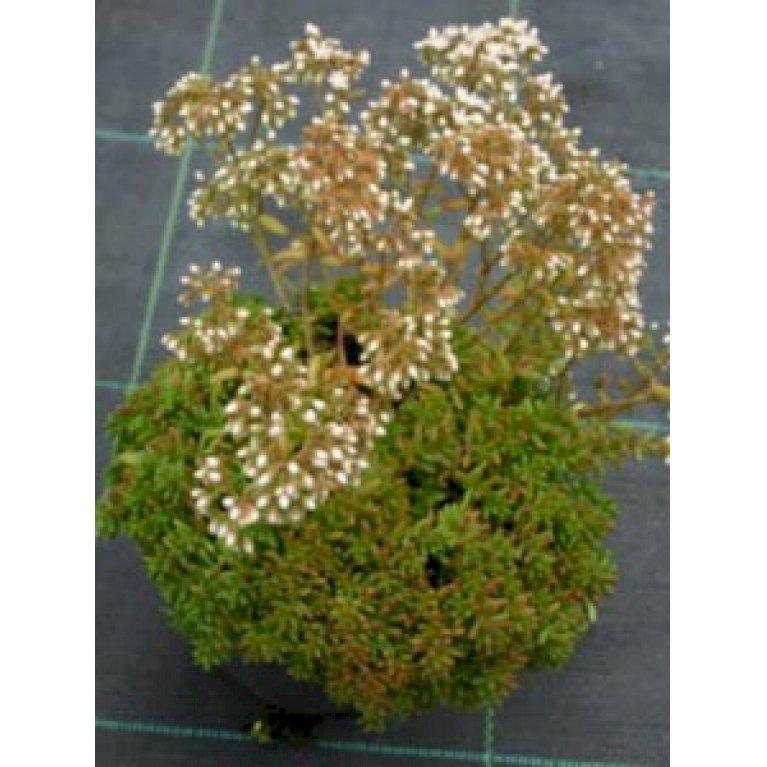 Hvid stenurt 'Coral Carpet'