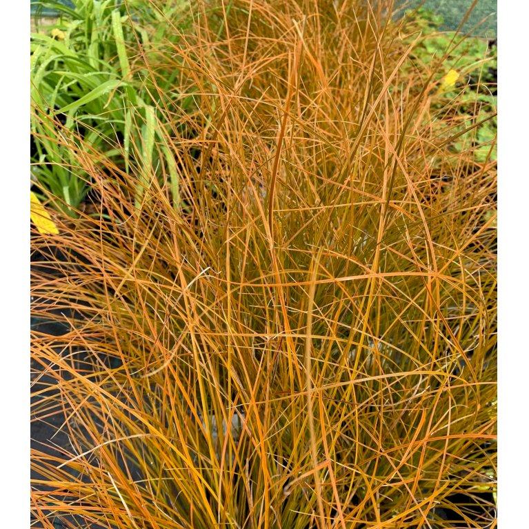 New Zealandsk græs