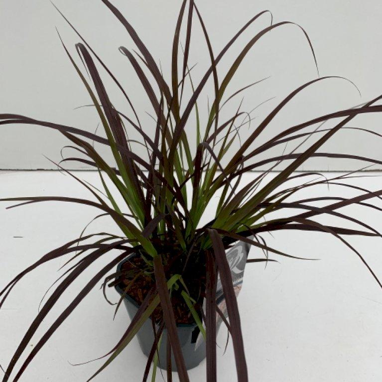 Rødbladet lampepudsergræs 'Rubrum'