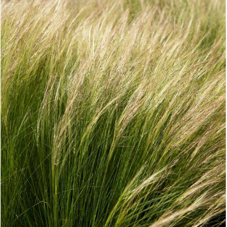 Fjergræs 'Pony Tails'
