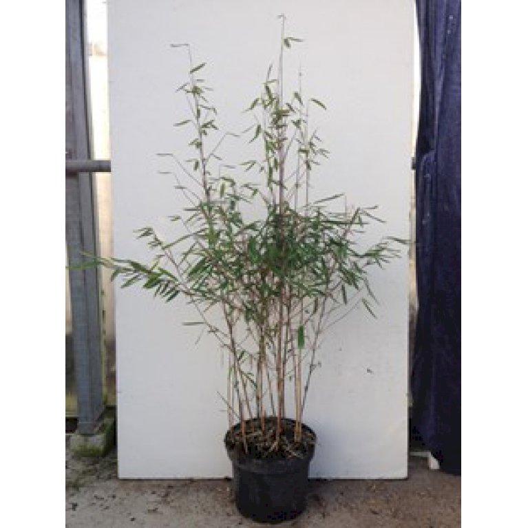 Sort bambus 'Pemo Trifina'