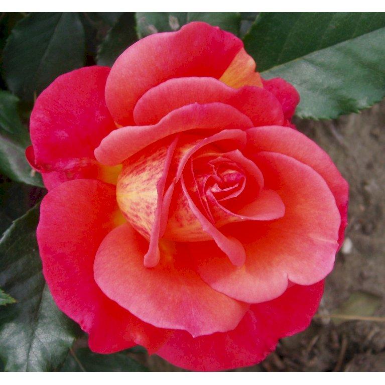 Storblomstrende rose 'Fabulous'