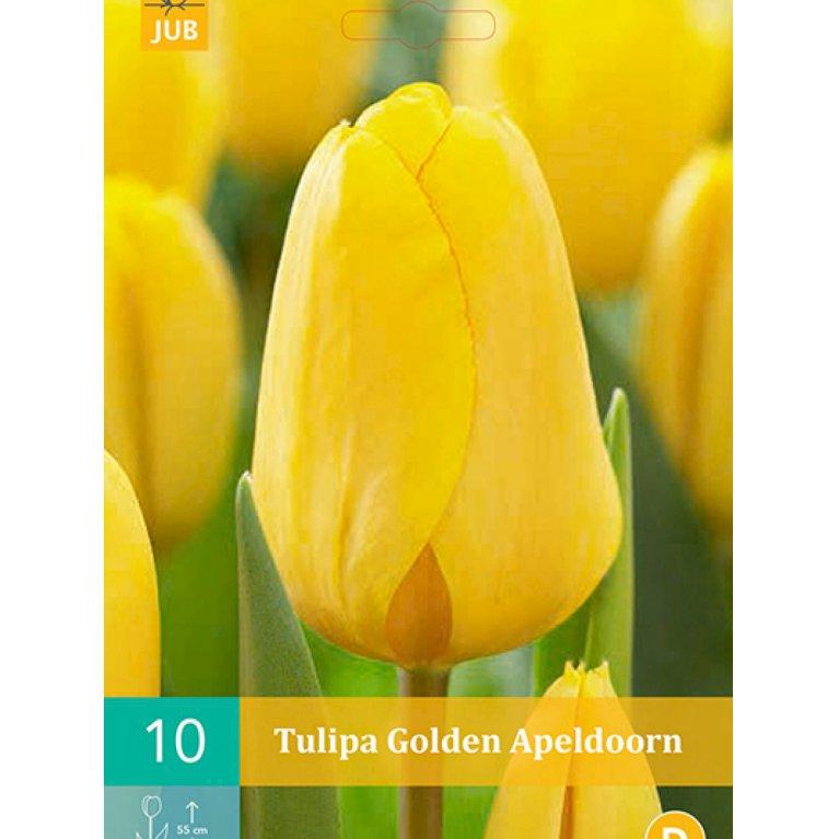 Tulipan, Darwin hybrider 'Golden Apeldoorn' (nr. E57)