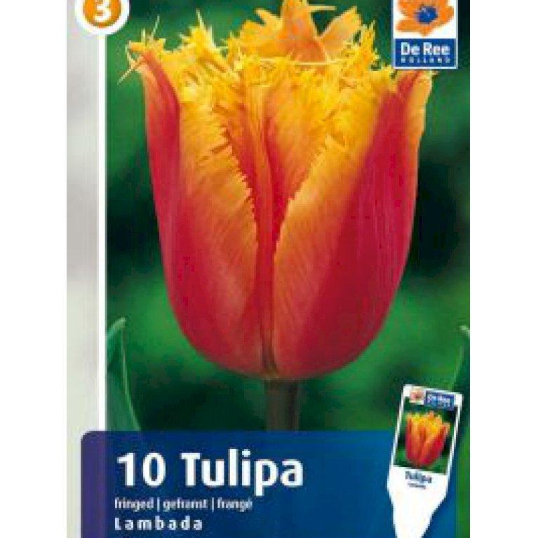 Crispa tulipaner 'Lambada' (nr. E70)
