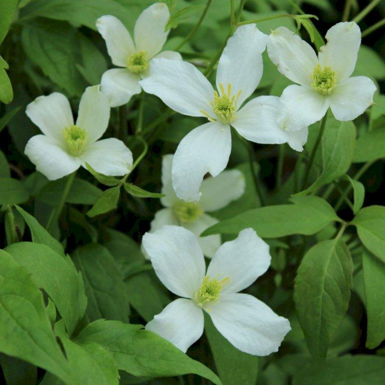 Bjerg-Skovranke 'Grandiflora'