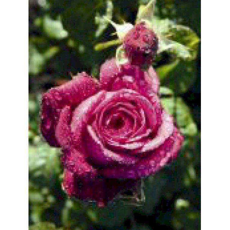 Storblomstrende rose 'Tantau Rose Goethe'