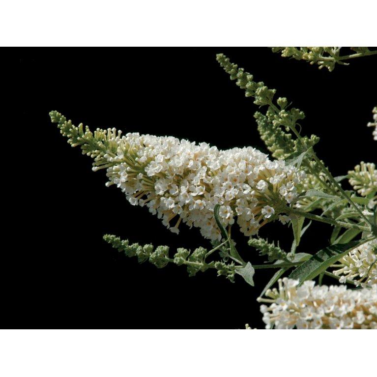Sommerfuglebusk Buzz 'Ivory'