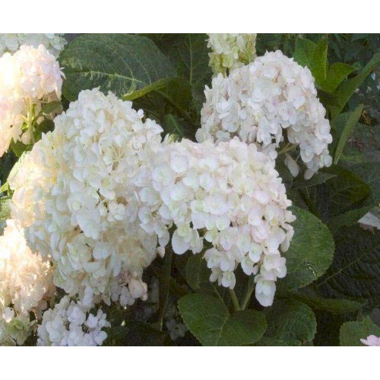 Havehortensia 'The Bride'