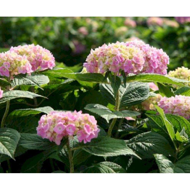 Havehortensia endless summer