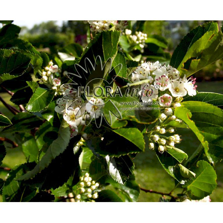 Blommebladet Tjørn