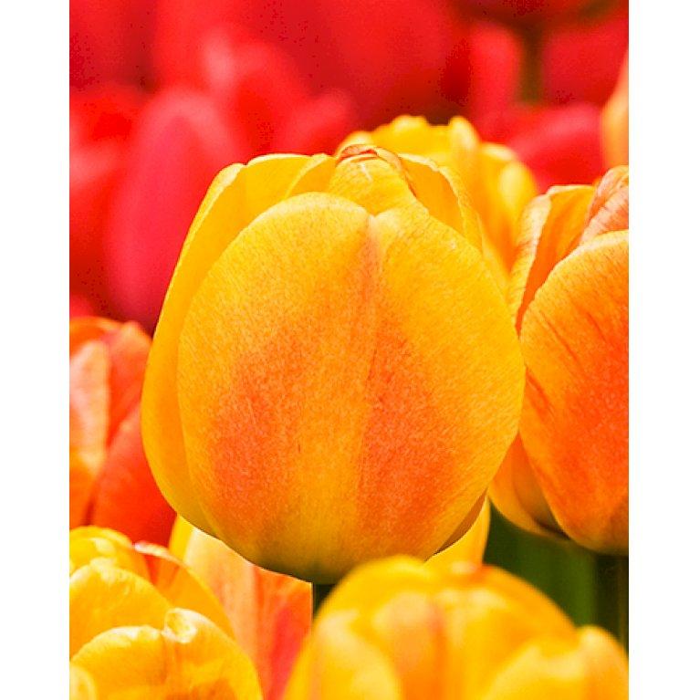 Tulipan 'Beauty of Apeldoorn'