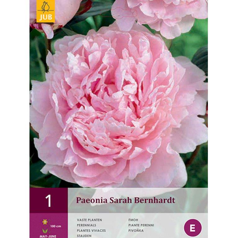Silkepeon 'Sarah Bernhardt' (nr. 198)