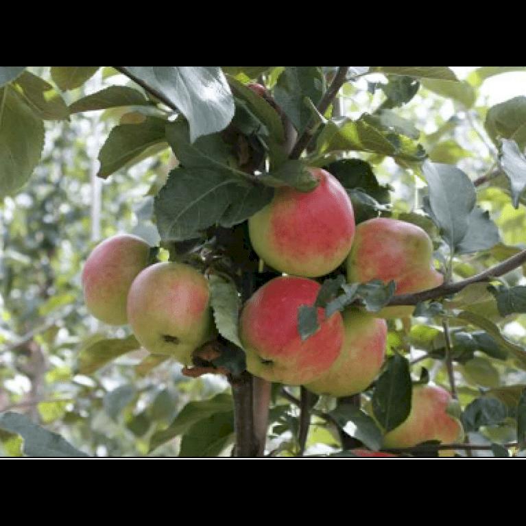 Æble 'Sunrise'