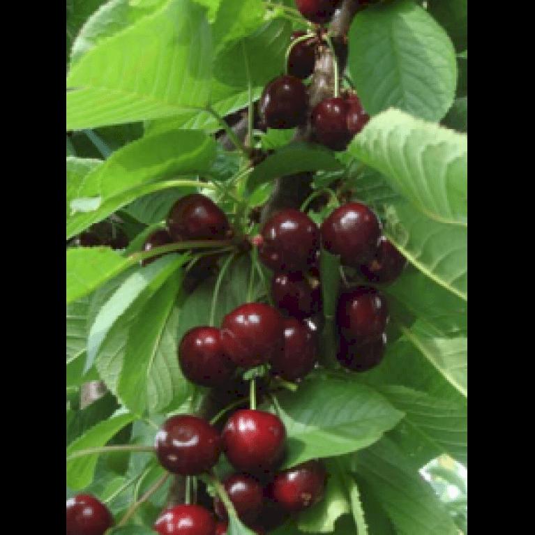 Søjlekirsebær 'Sylvia'