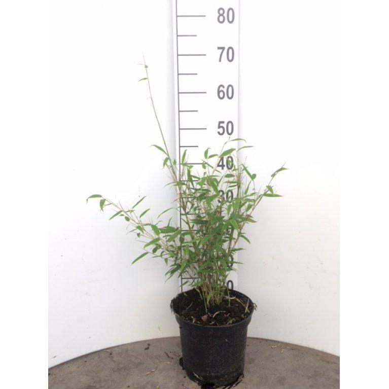 Gul Bambus 'Simba'