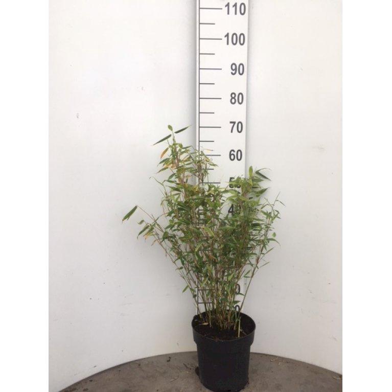 Gul Bambus 'Jumbo'