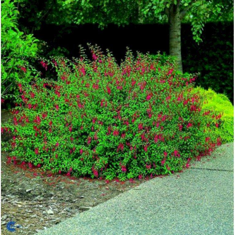 Fuchsia 'Georg'