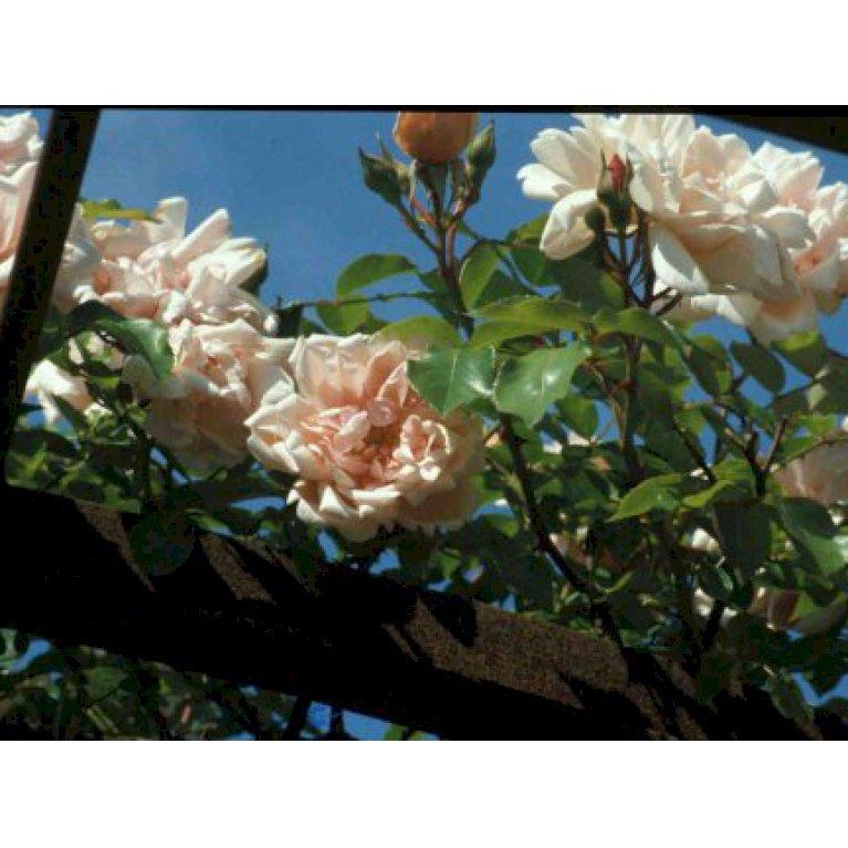 Gammeldags Rose 'Albertine'