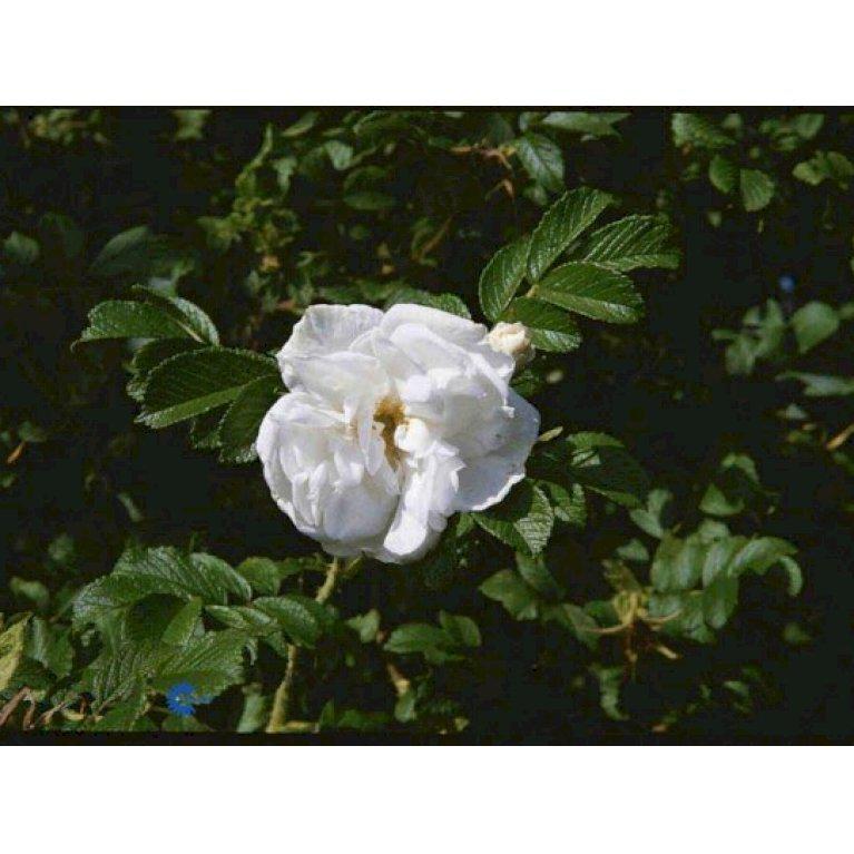 Rynket rose 'Blanc Double de Coubert'