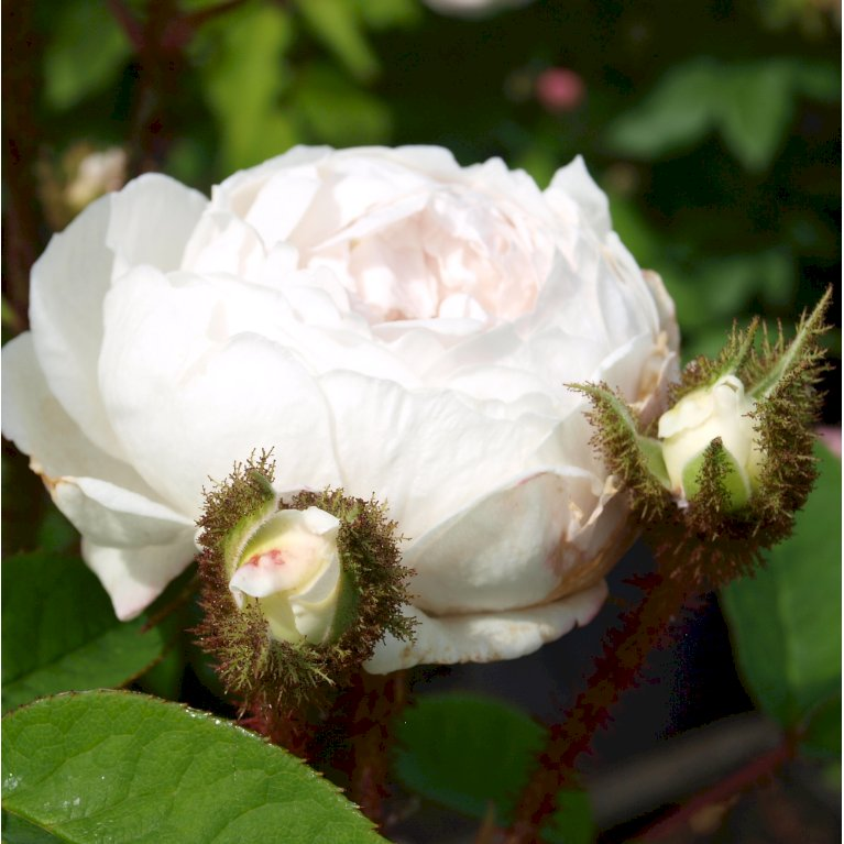 Gammeldags Rose 'Blanche Moreau'