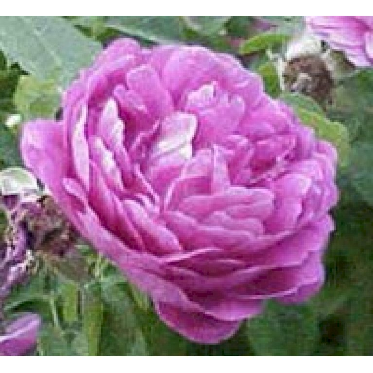 Gammeldags Rose 'Bourbon Queen'