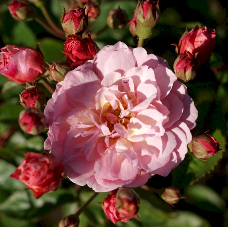 Gammeldags Rose 'Cornelia'