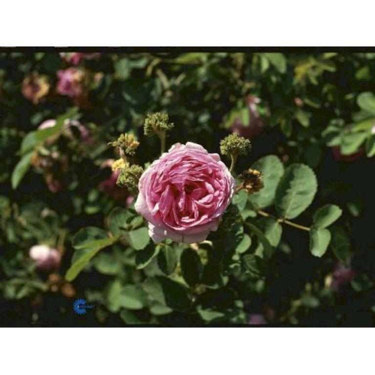 Gammeldags Rose 'Cristata'