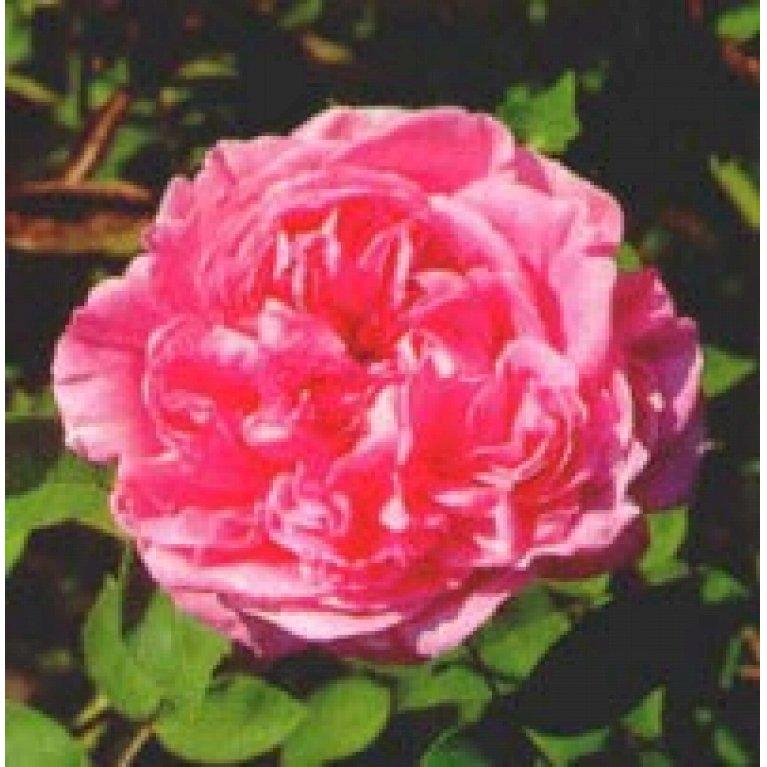 Gammeldags Rose 'Elisabeth de Autriche'