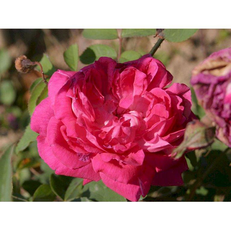Gammeldags Rose 'Fulgens'