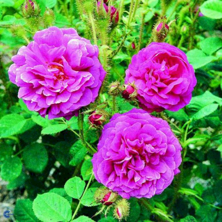Gammeldags Rose 'Henri Martin'
