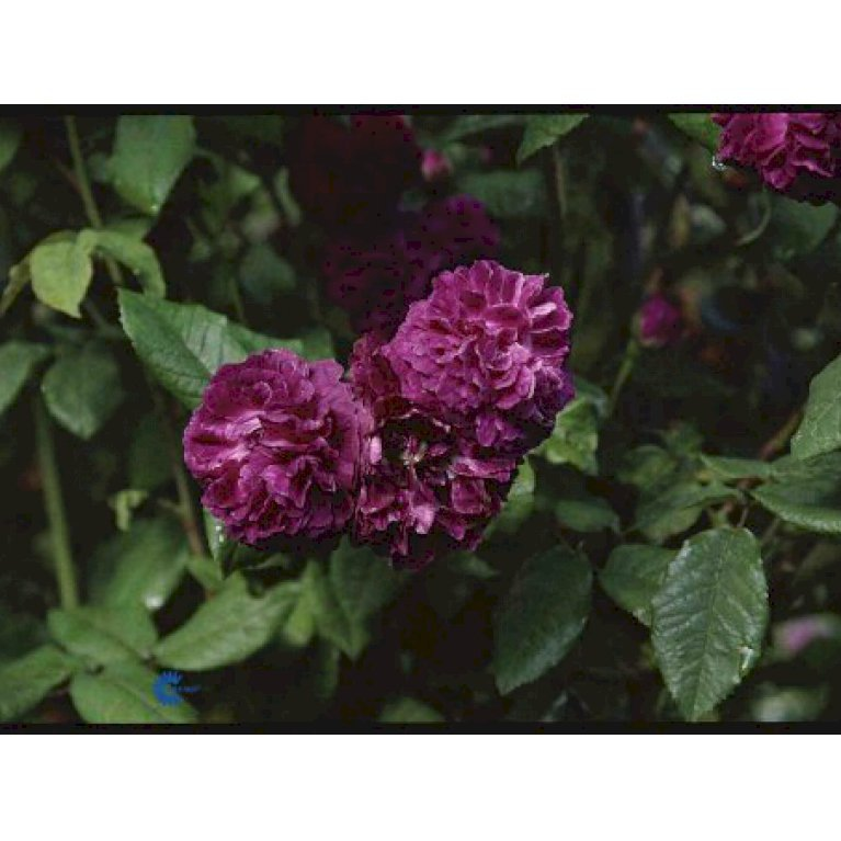 Gammeldags Rose 'Hippolyte'
