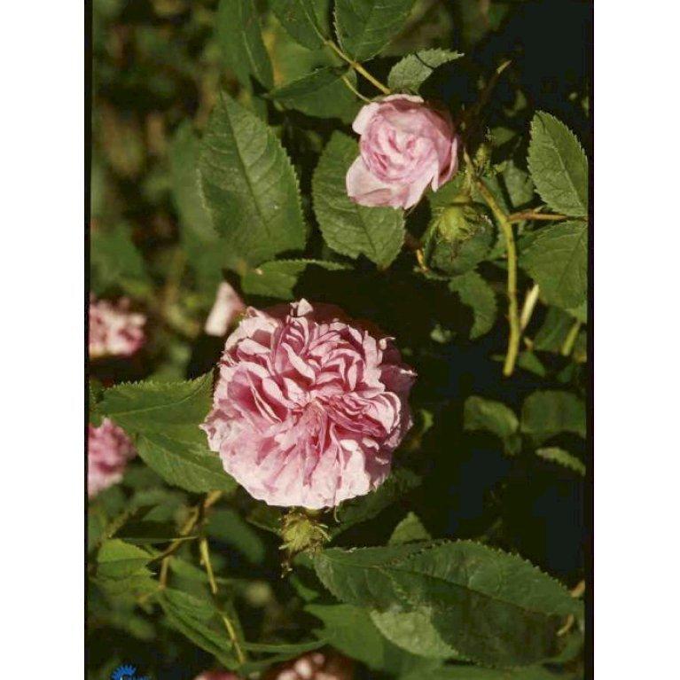 Gammeldags Rose 'Ispahan'