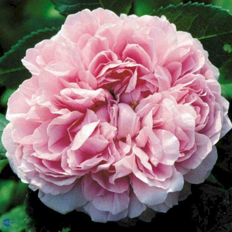 Gammeldags Rose 'Jacques Cartier'