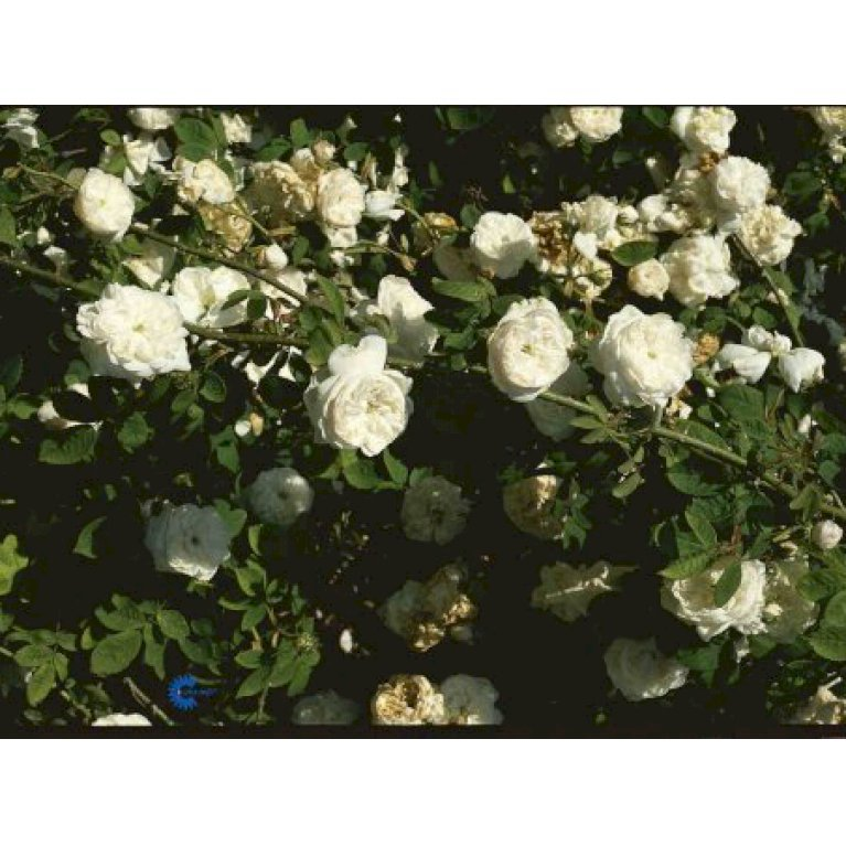 Gammeldags Rose 'Mme Hardy'