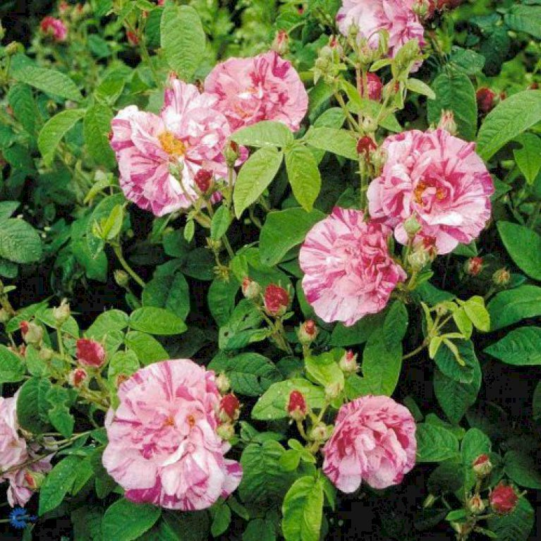 Gammeldags Rose 'Rosa Mundi'