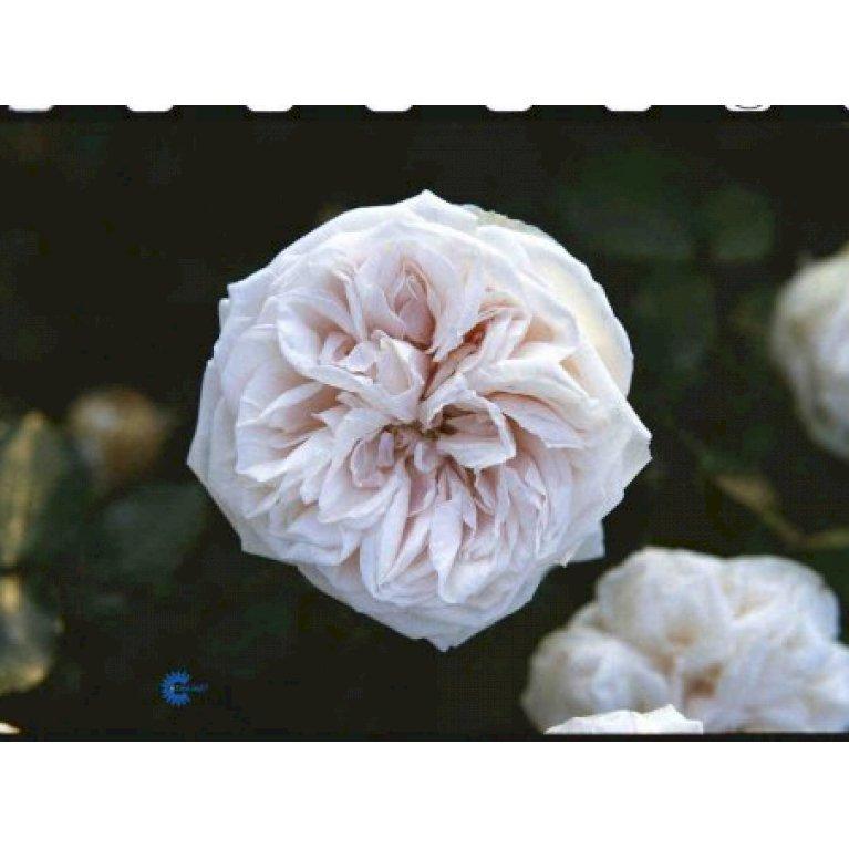 Gammeldags Rose 'Souvenier de la Malmaison'