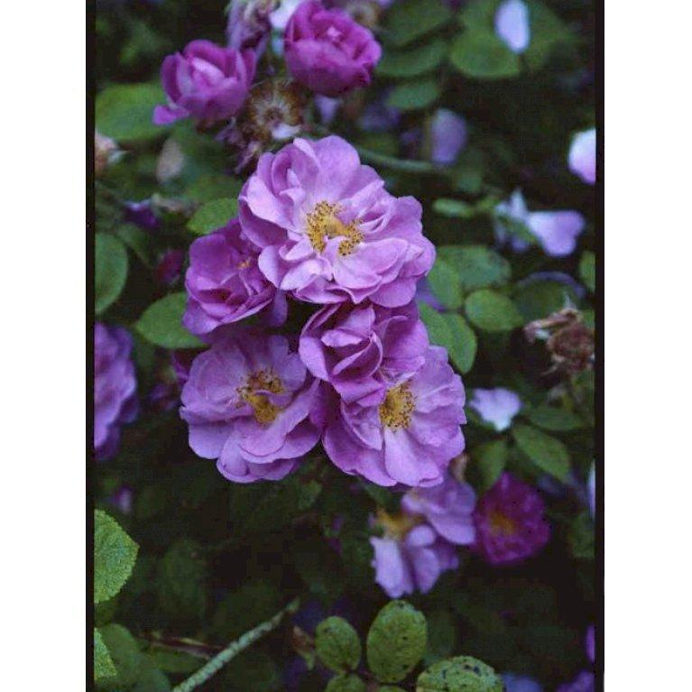 Gammeldags Rose 'St. Nicholas'