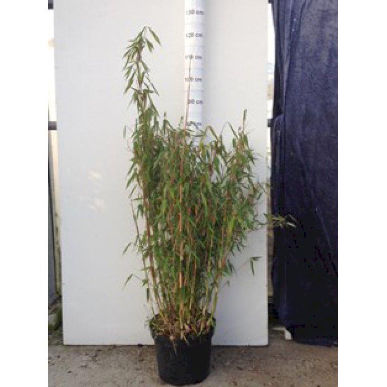 Bambus 'Dino'