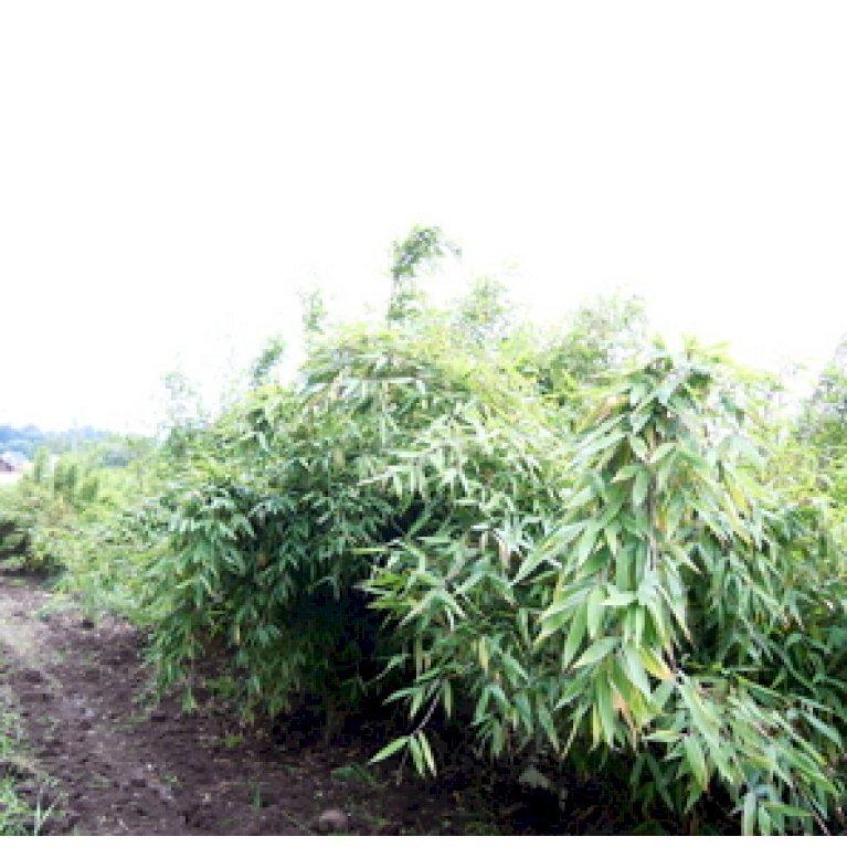 Bambus 'Tiny'